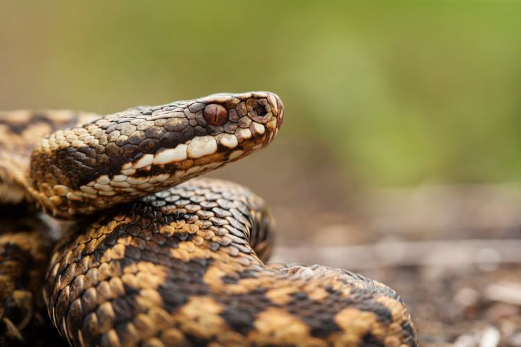 bracknell vets advice on adders